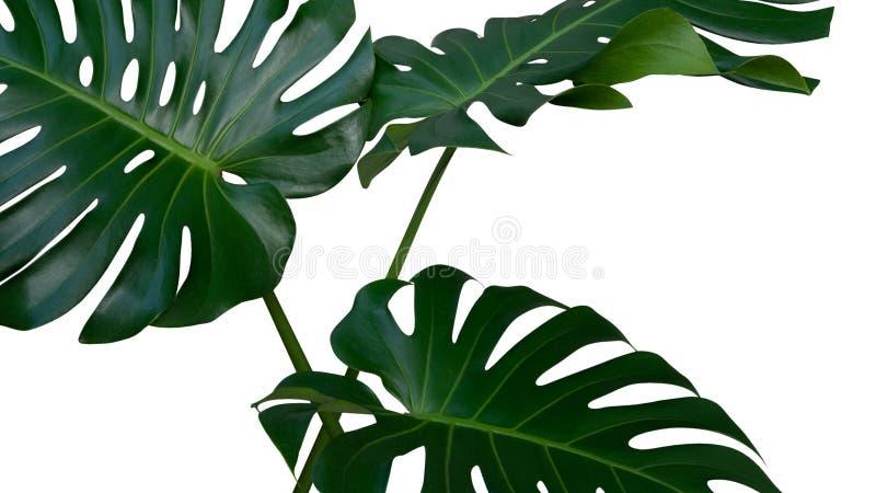 Tres hojas de la planta de Monstera, la vid imperecedera tropical aislada en el fondo blanco, trayectoria fotos de archivo