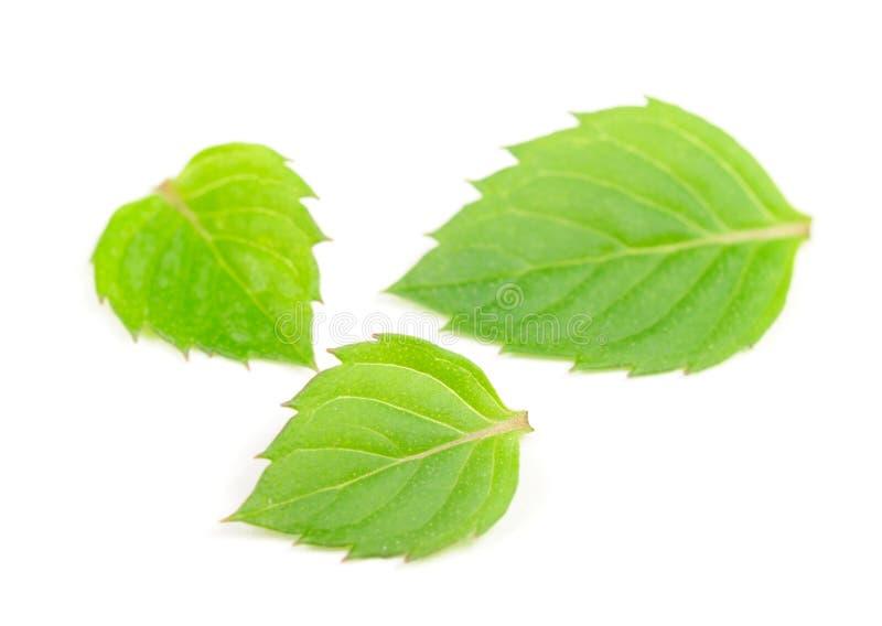 Tres hojas de menta imagenes de archivo