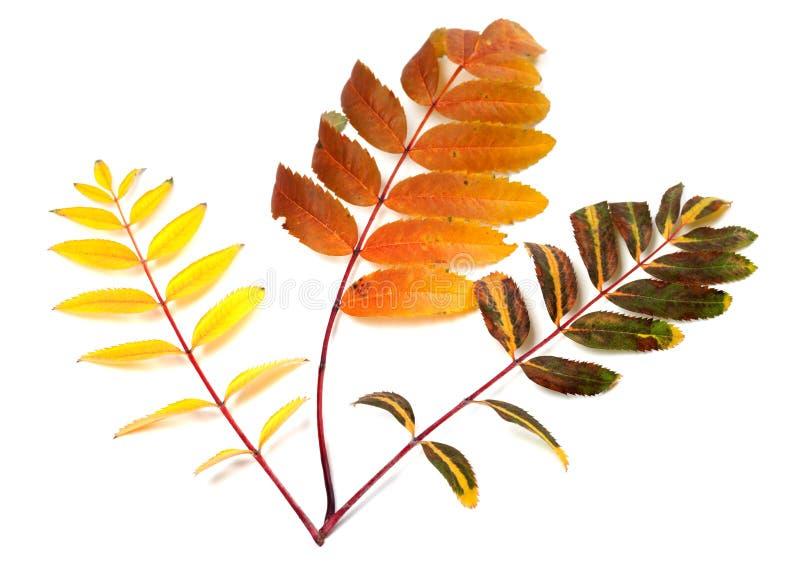 Tres hojas multicoloras del serbal del otoño fotos de archivo libres de regalías