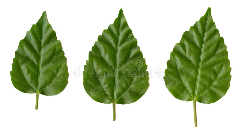 Tres hojas verdes imágenes de archivo libres de regalías