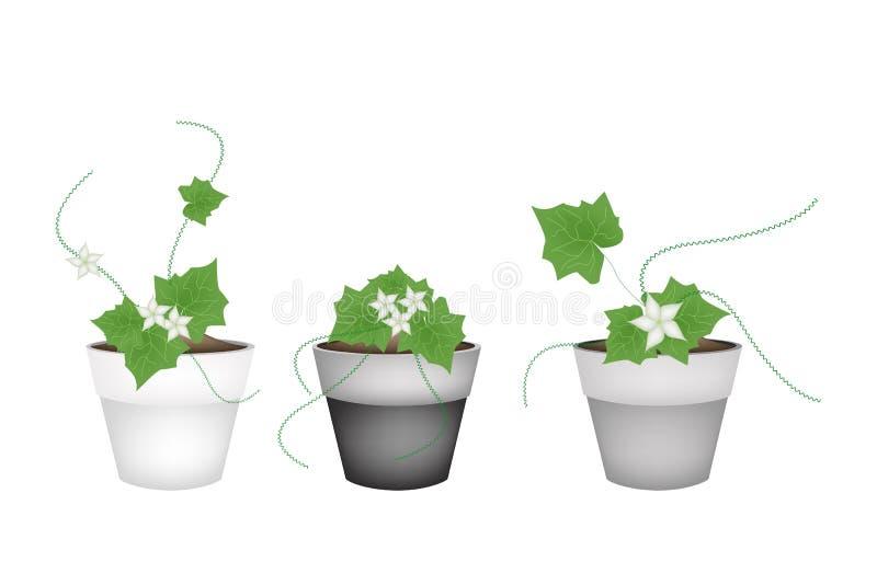 tres ivy gourd en macetas de cermica