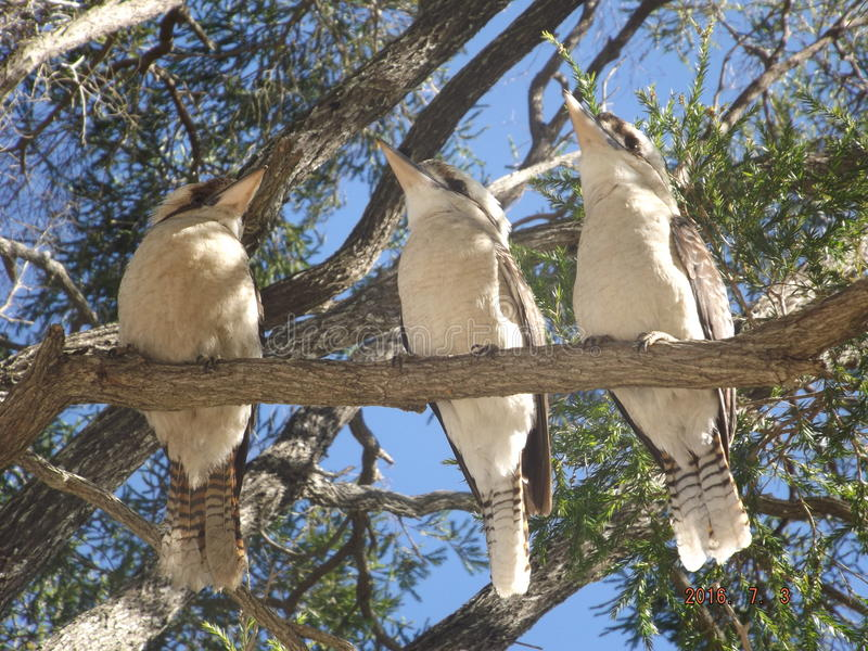 Tres jóvenes Kookaburras imágenes de archivo libres de regalías