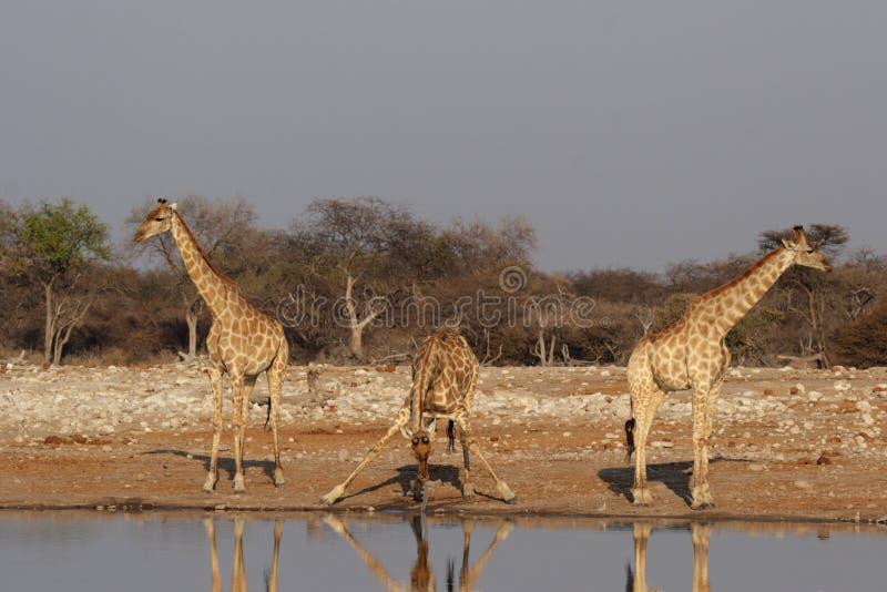 Tres jirafas imagenes de archivo