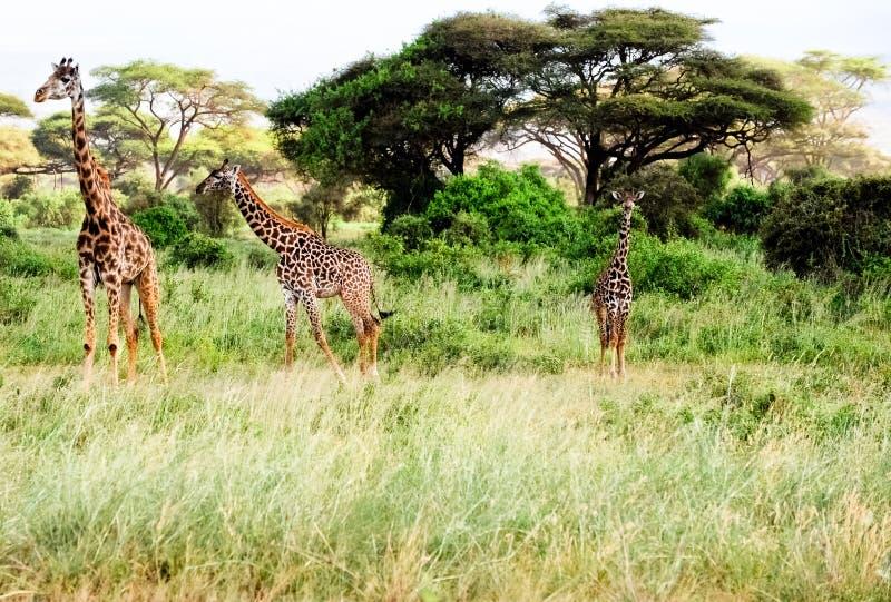 Tres jirafas se colocan en la África en un safari. imagenes de archivo