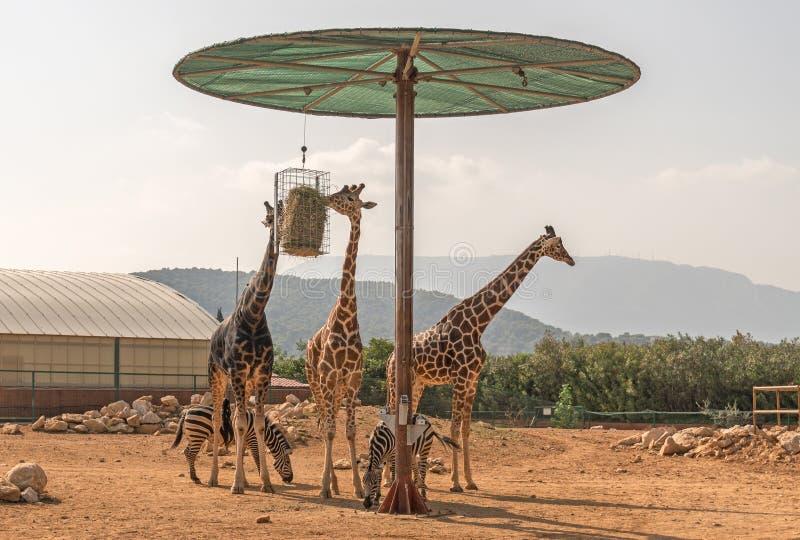 Tres jirafas y dos cebras fotos de archivo