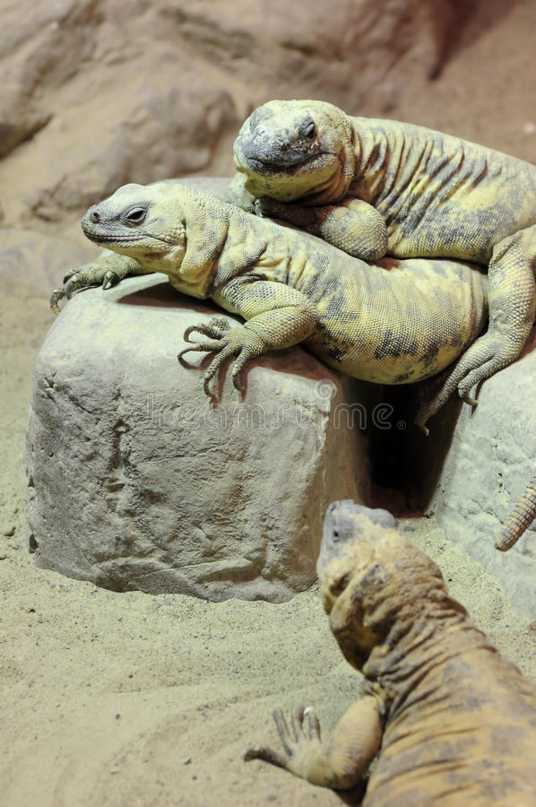 Tres lagartos foto de archivo libre de regalías
