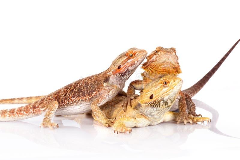 Tres lagartos barbudos de los Agamas foto de archivo libre de regalías