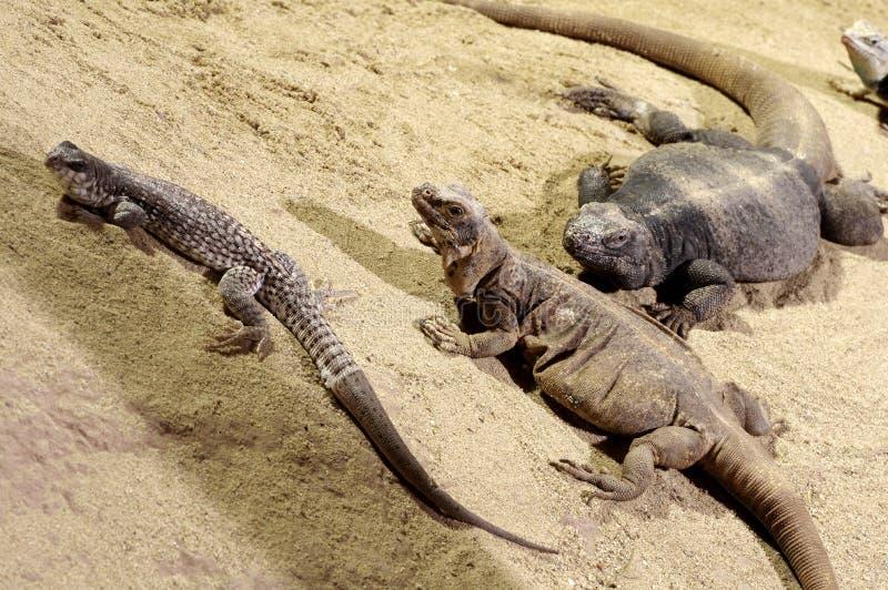 Tres lagartos en la arena fotos de archivo libres de regalías