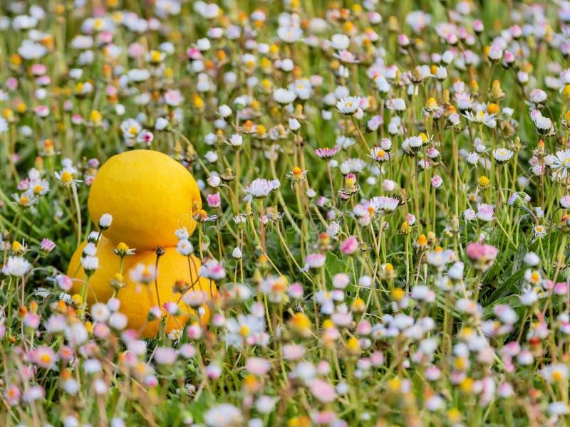 Tres limones en un ambiente natural con las flores del campo imagen de archivo libre de regalías