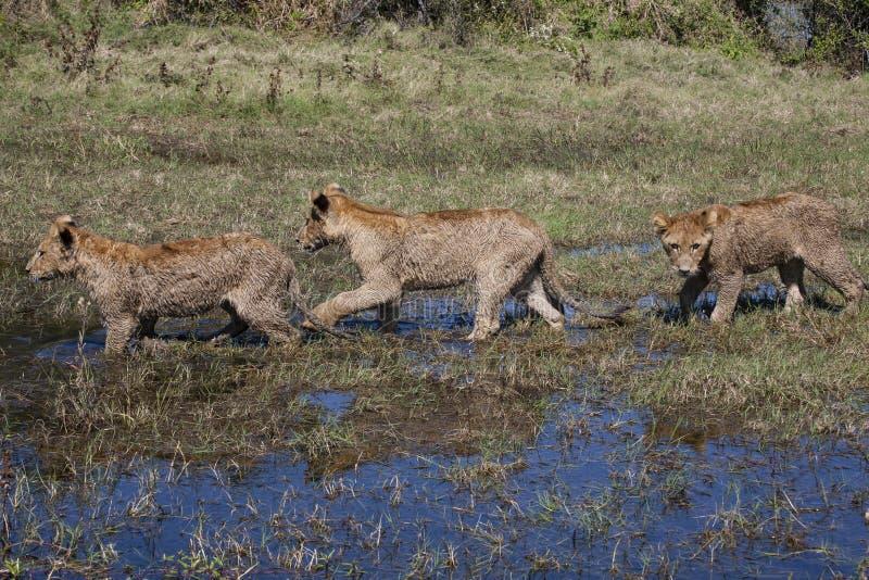 Tres Lion Cubs mojado en un pantano fotografía de archivo