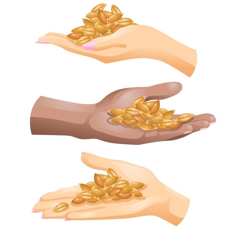 Tres manos con los granos de la cebada en ellos en el fondo blanco ilustración del vector