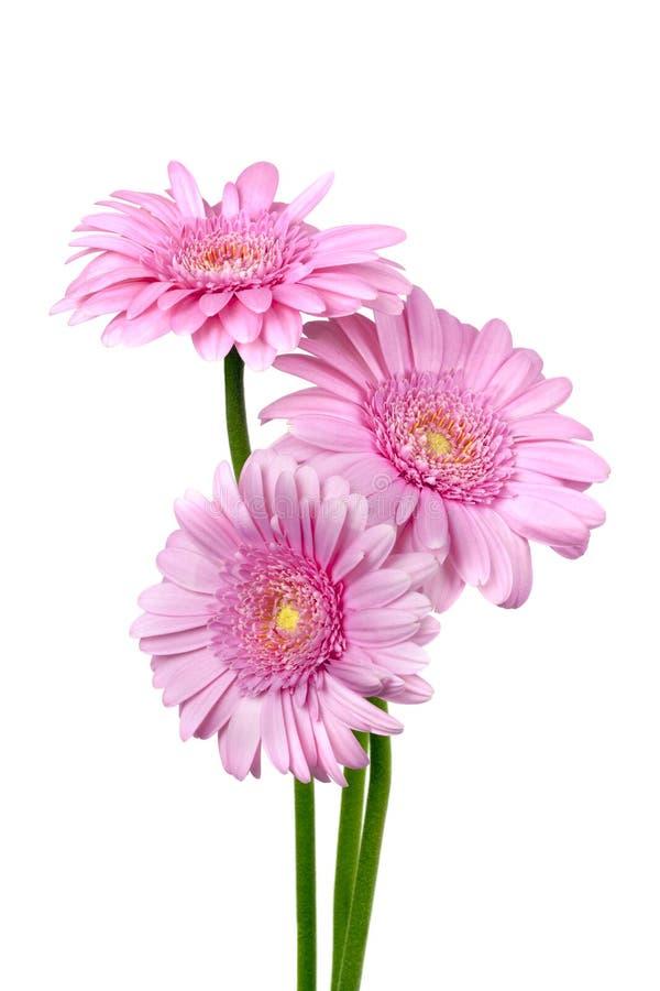 Tres margaritas rosadas de Gerber aisladas foto de archivo