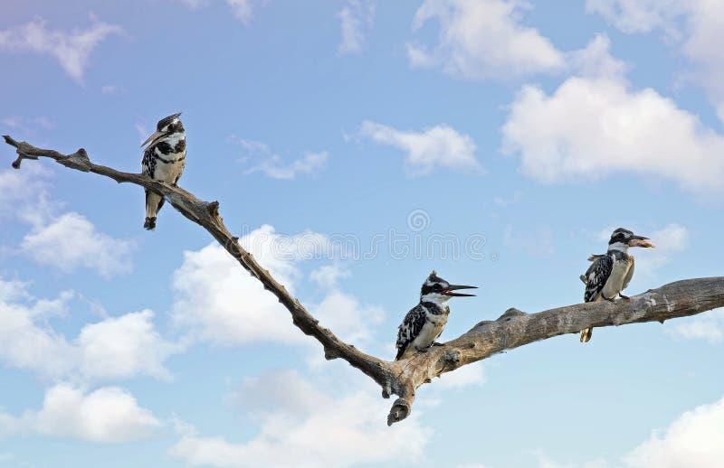 Tres martines pescadores en una rama de árbol con un pescado y un cielo del cloudscape imágenes de archivo libres de regalías