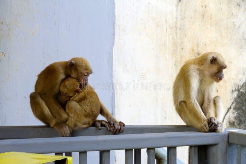 Tres monos sentados relajados en la represa de agua y la naturaleza foto de archivo libre de regalías