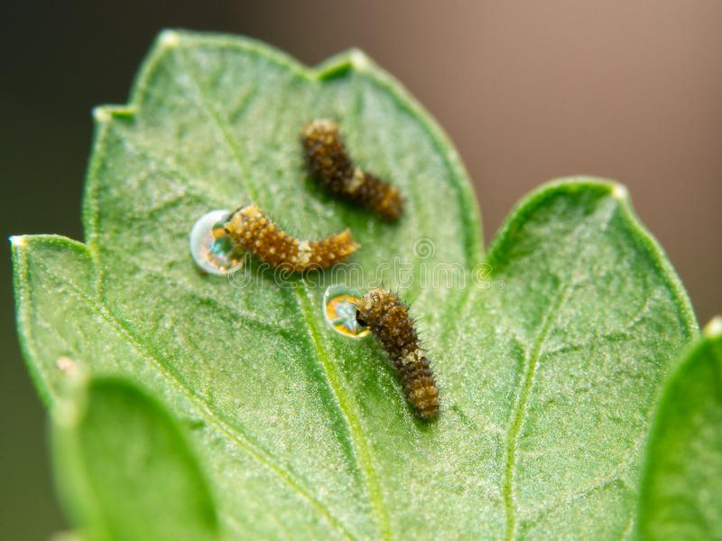 Tres muy minúsculos, orugas negras recientemente eclosed de la mariposa de Swallowtail en una hoja del perejil fotografía de archivo libre de regalías