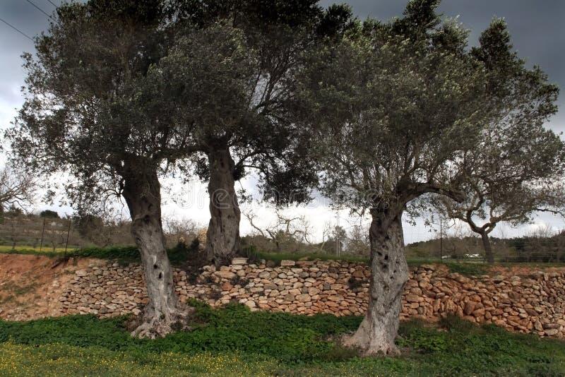 Tres olivos imagenes de archivo