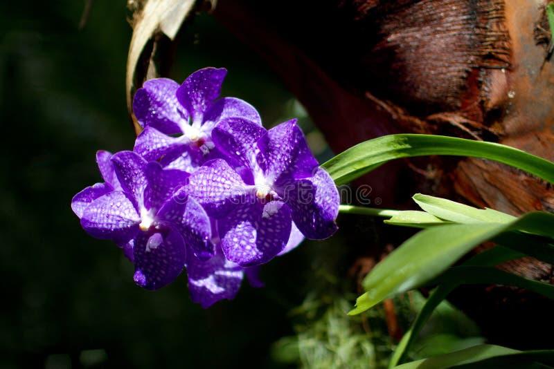 Tres orquídeas púrpuras después de la lluvia en jardín tropical foto de archivo libre de regalías