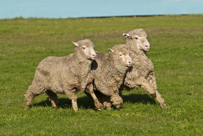 Tres ovejas merinas que se ejecutan en la formación imágenes de archivo libres de regalías