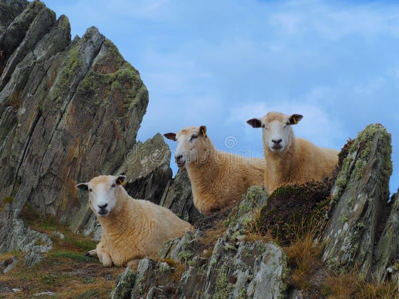 Tres ovejas que se relajan en las rocas imagen de archivo