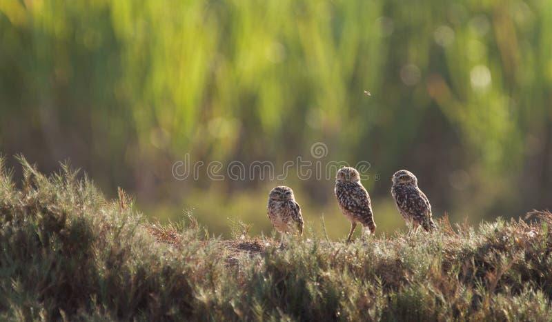 Tres Owlets fotos de archivo libres de regalías