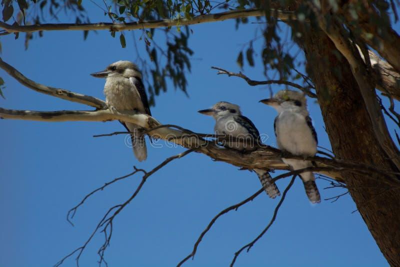Tres pájaros de Kookaburra que se sientan en una rama de árbol de goma imagen de archivo