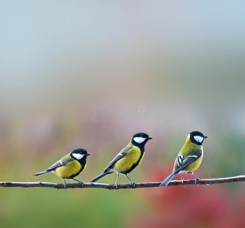 Tres pájaros de los titmouses fotografía de archivo libre de regalías
