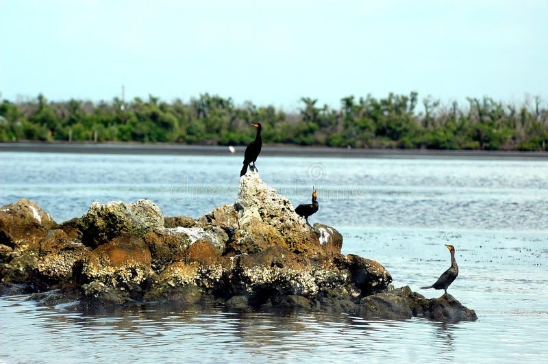Tres pájaros del anhinga foto de archivo libre de regalías