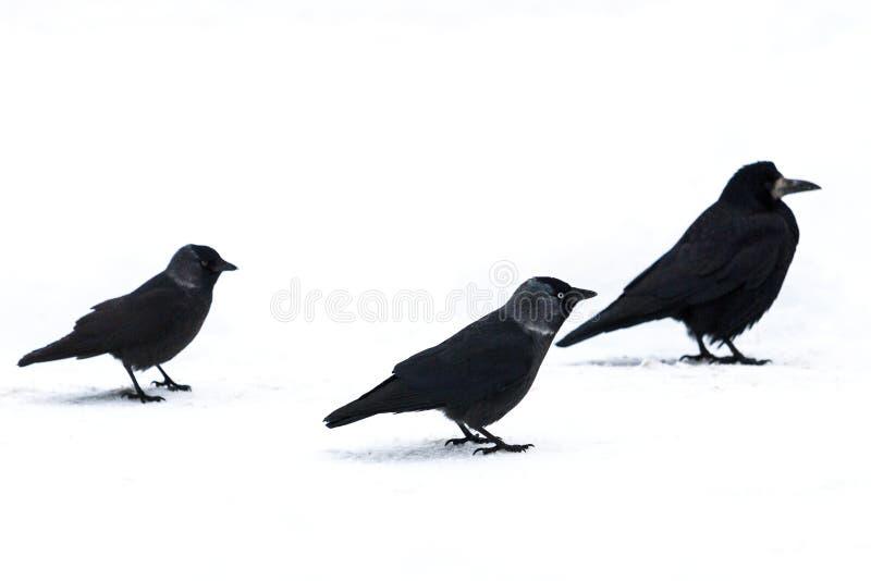 Tres pájaros negros en la nieve blanca foto de archivo libre de regalías