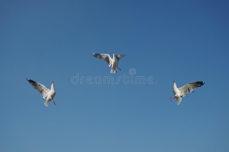 Tres pájaros que arrebatan la comida en cielo imágenes de archivo libres de regalías