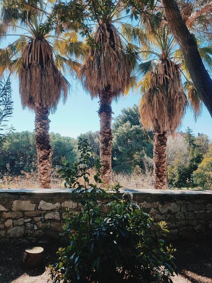 Tres palmeras en un parque imagen de archivo