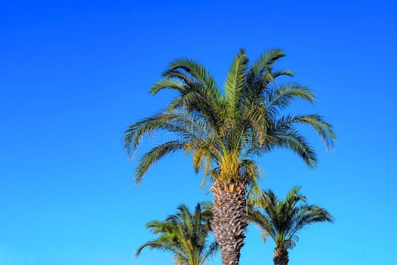 Download Tres palmeras mullidas foto de archivo. Imagen de grande - 100531886