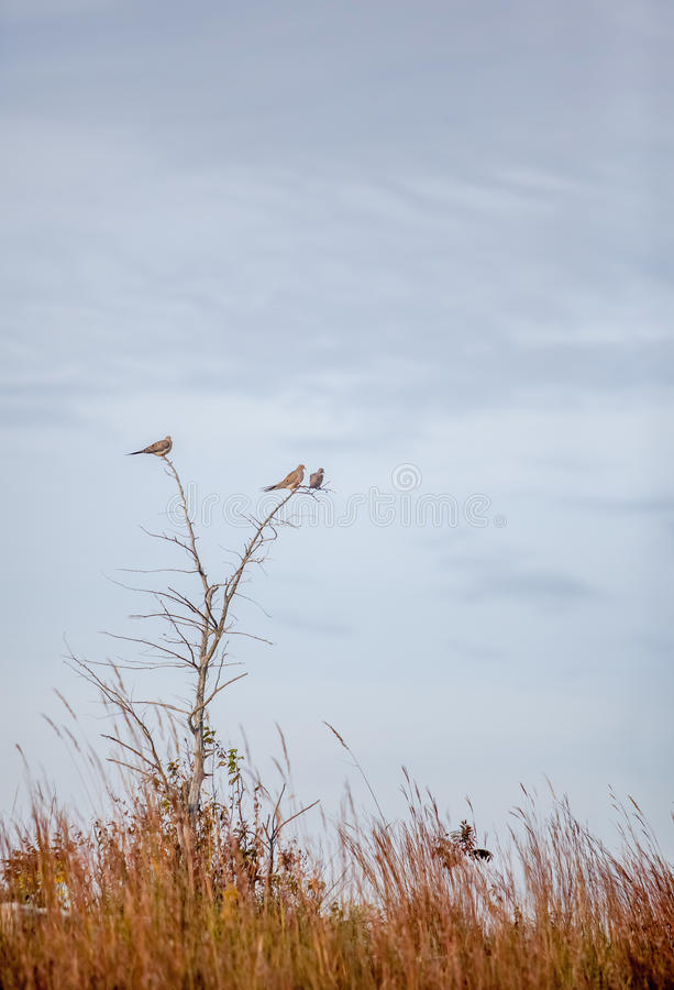 Tres palomas de luto en un árbol foto de archivo