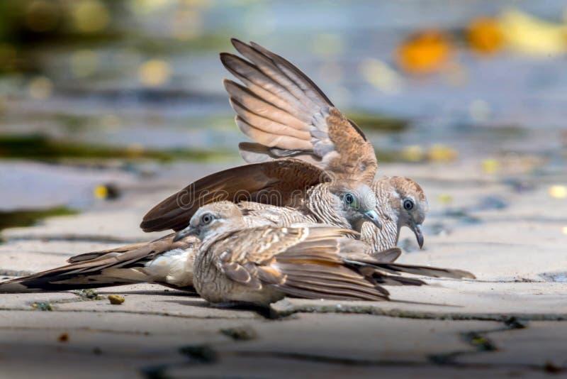 Tres palomas en piso del cemento Dos pájaros separaron sus alas juntas Otro pájaro se sienta imagenes de archivo