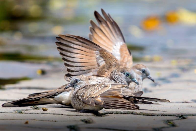 Tres palomas en piso del cemento Dos pájaros separaron sus alas juntas Otro pájaro se sienta imagen de archivo libre de regalías