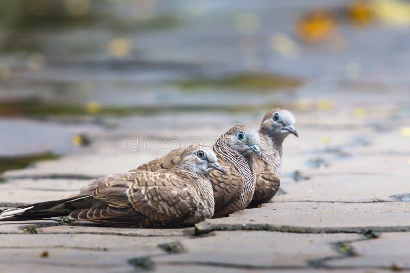 Tres palomas en piso del cemento Hacer frente lo mismo foto de archivo