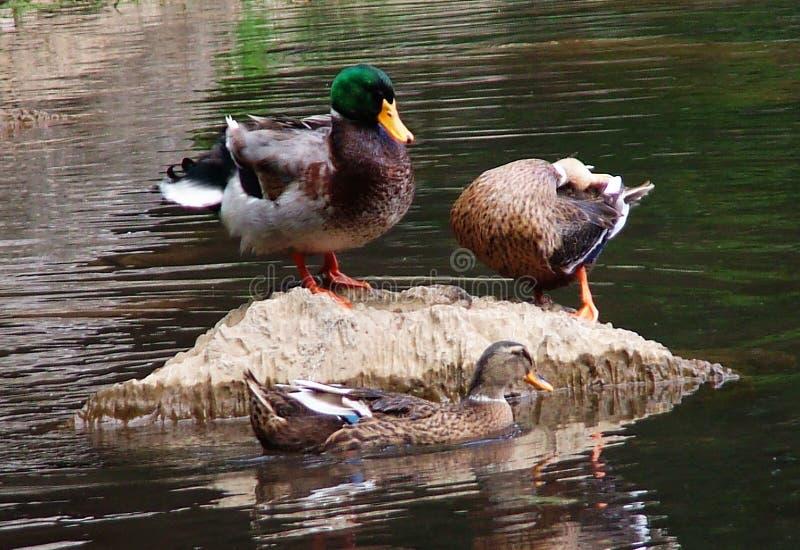 Tres patos salvajes fotografía de archivo