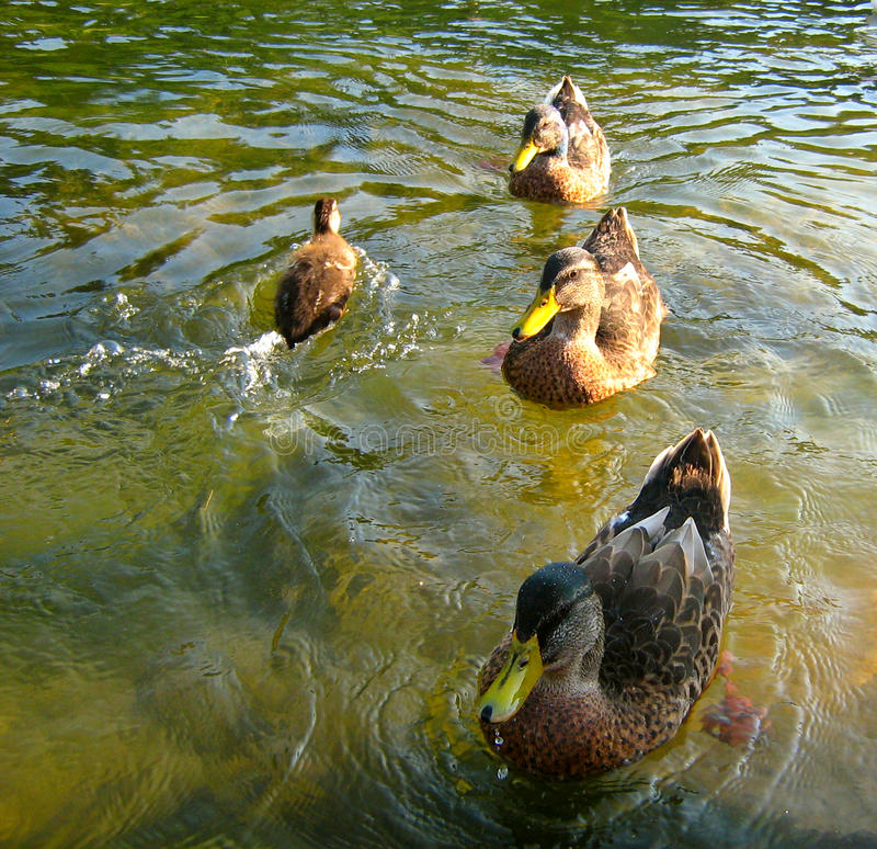 Tres patos y pequeño imagen de archivo libre de regalías