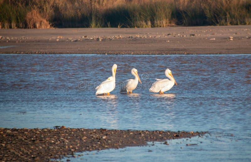 Tres pelícanos blancos americanos en el río Santa Clara en el parque de estado de McGrath en la Costa del Pacífico en Ventura Cal fotografía de archivo libre de regalías