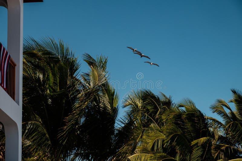 Tres pelícanos marrones sobre un centro turístico imagen de archivo libre de regalías
