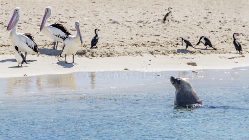 Tres pelícanos miran un león marino el acercarse saliendo del agua en la playa arenosa de la isla del pingüino, Rockingham, Au foto de archivo