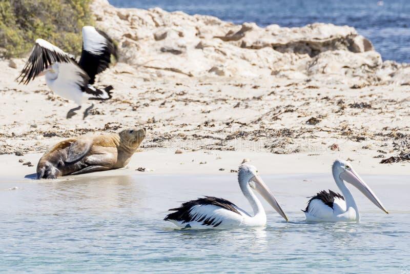 Tres pelícanos y un león marino en la playa de la isla del pingüino, Rockingham, Australia occidental fotografía de archivo libre de regalías