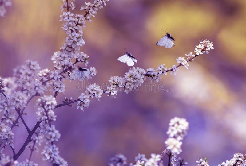 Tres pequeñas mariposas hermosas blancas vuelan a las ramas con las flores mullidas y los brotes fragantes del arbusto floreciend foto de archivo