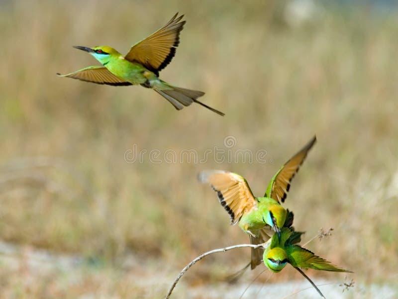 Tres pequeños Abeja-comedores verdes (orientalis del Merops) durante el acoplamiento fotografía de archivo libre de regalías