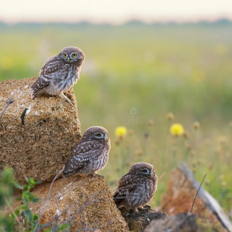 Tres pequeños búhos que se sientan en las rocas imágenes de archivo libres de regalías