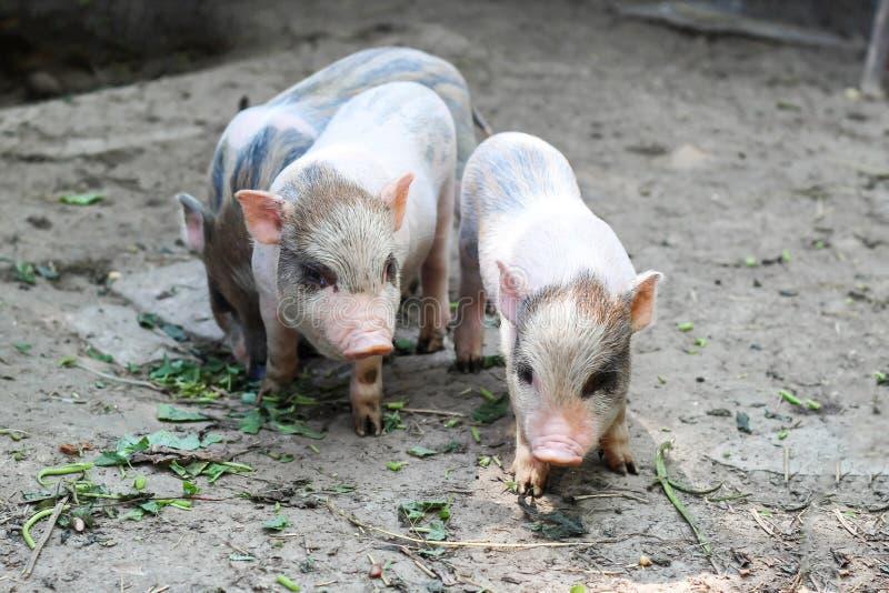 Tres pequeños cochinillos vietnamitas en una granja foto de archivo