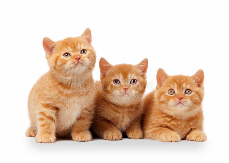 Tres pequeños gatitos británicos rojos imagenes de archivo