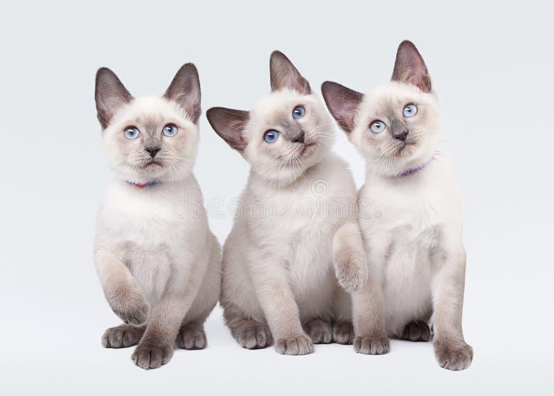 Tres pequeños gatitos tailandeses imagenes de archivo