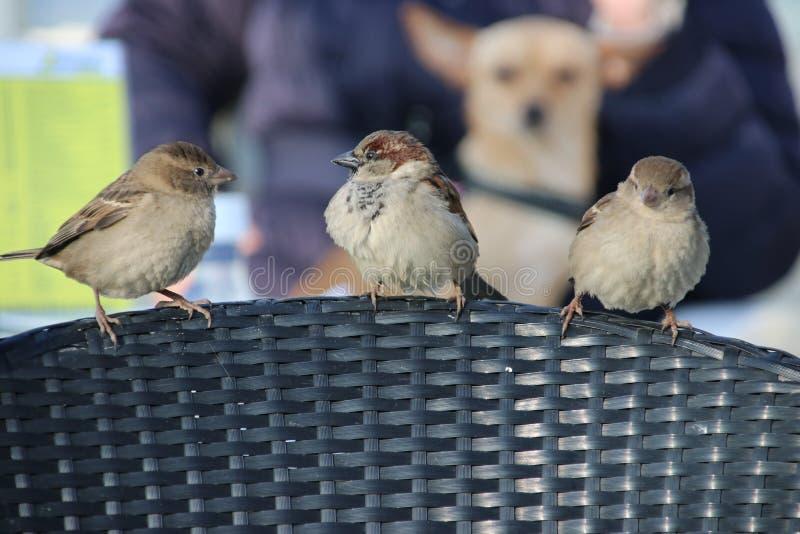 Tres pequeños gorriones que esperan al borde de una silla la comida caida o dejada en una terraza en Katwijk imagen de archivo