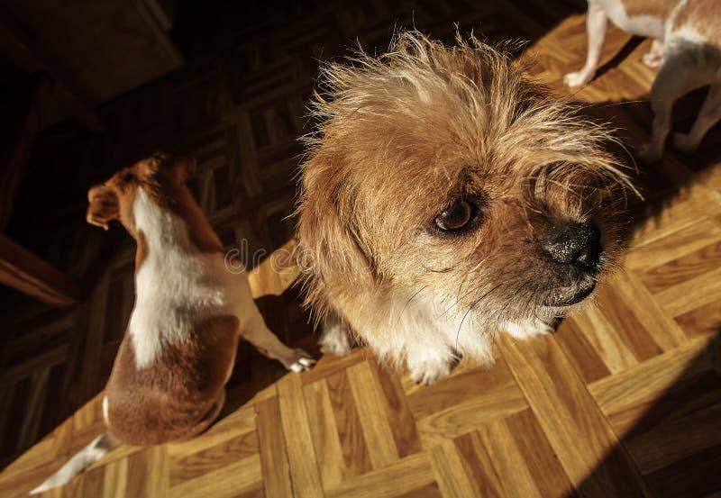 Tres pequeños perros que se sientan en un piso de la cocina fotos de archivo libres de regalías