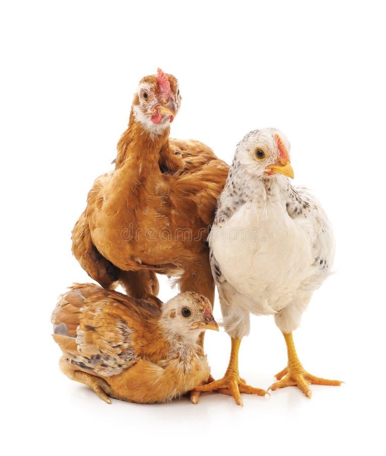 Tres pequeños pollos fotografía de archivo libre de regalías